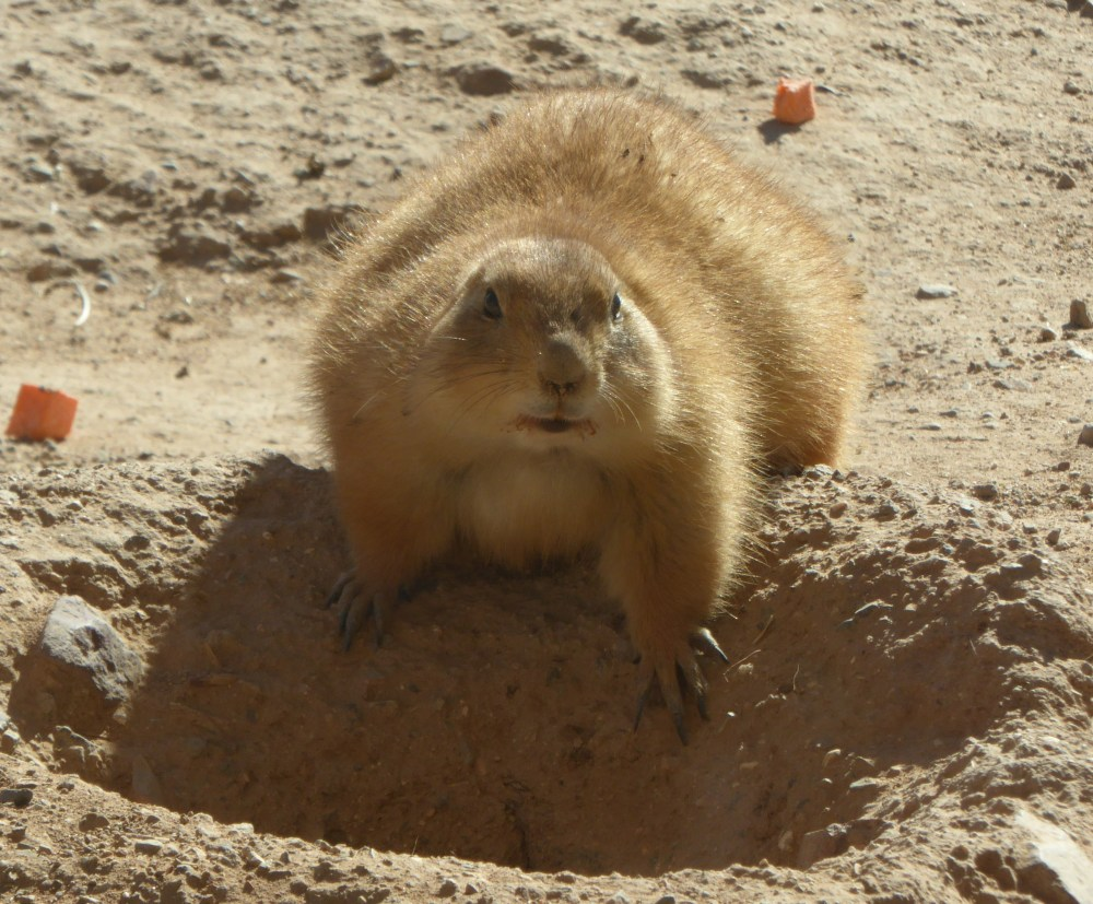 Arizona Pats prairie dog